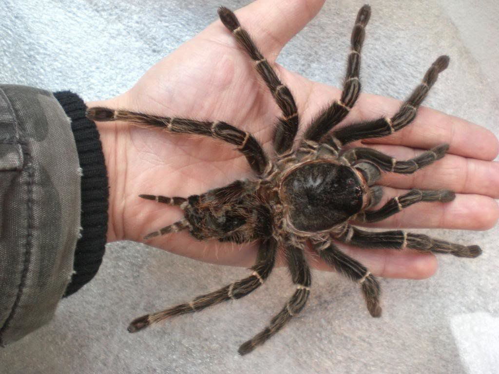 World's Biggest Spider And Giant Spiders - TopBestPics.com