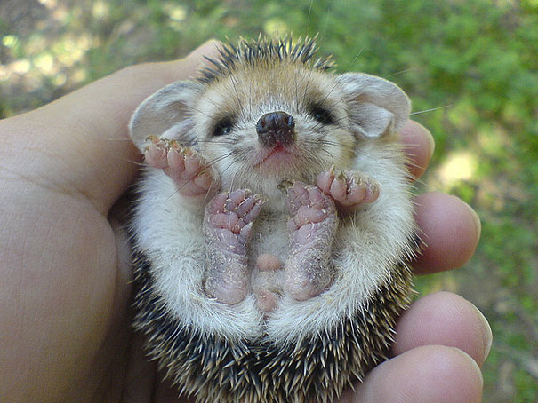 cute animals cute baby hedgehog