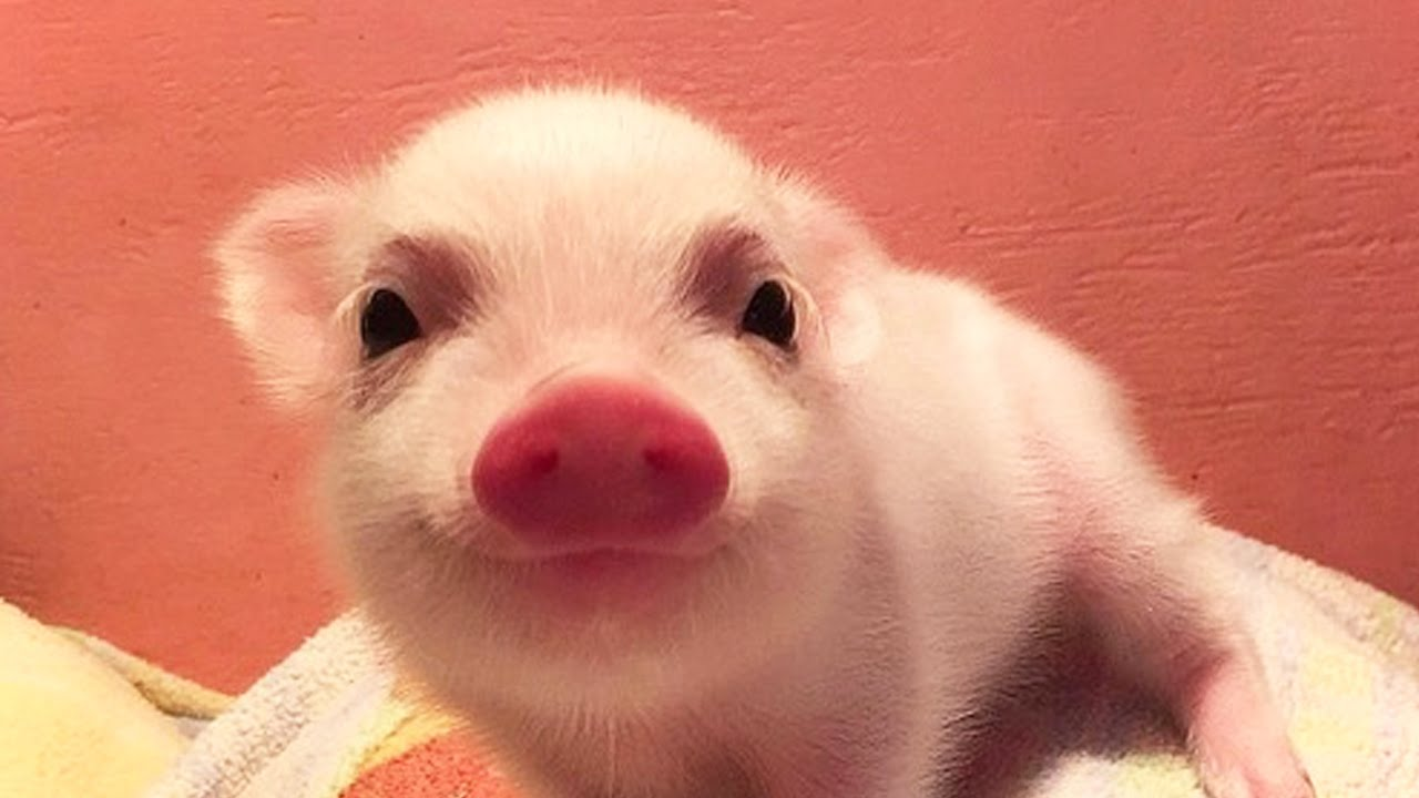 Top 20 Most Cutes Baby Animals - image cute-animals-cute-piggy on https://www.topbestpics.com