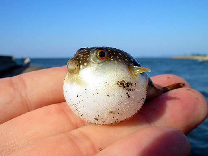cute animals cute puffer fish