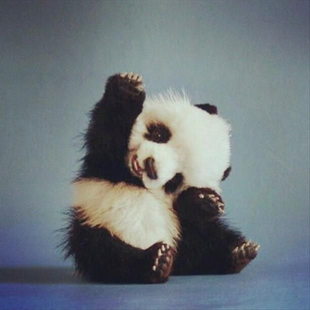 cute baby panda cute animals