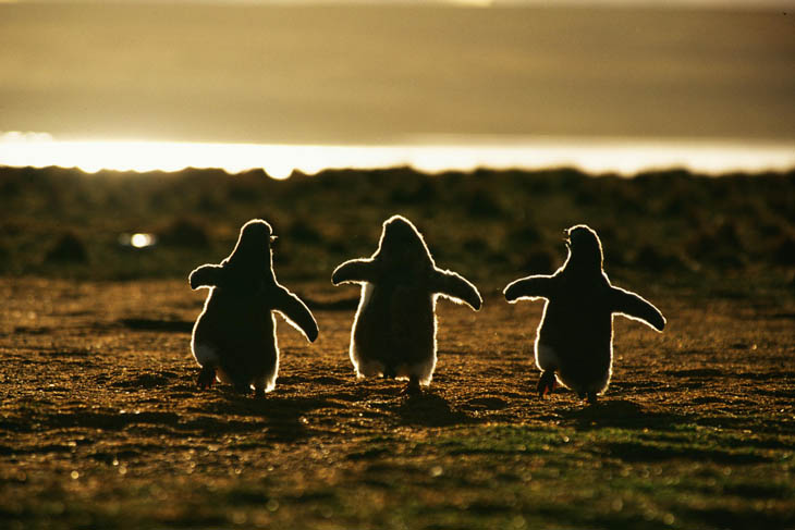 cute baby penguin cute animals