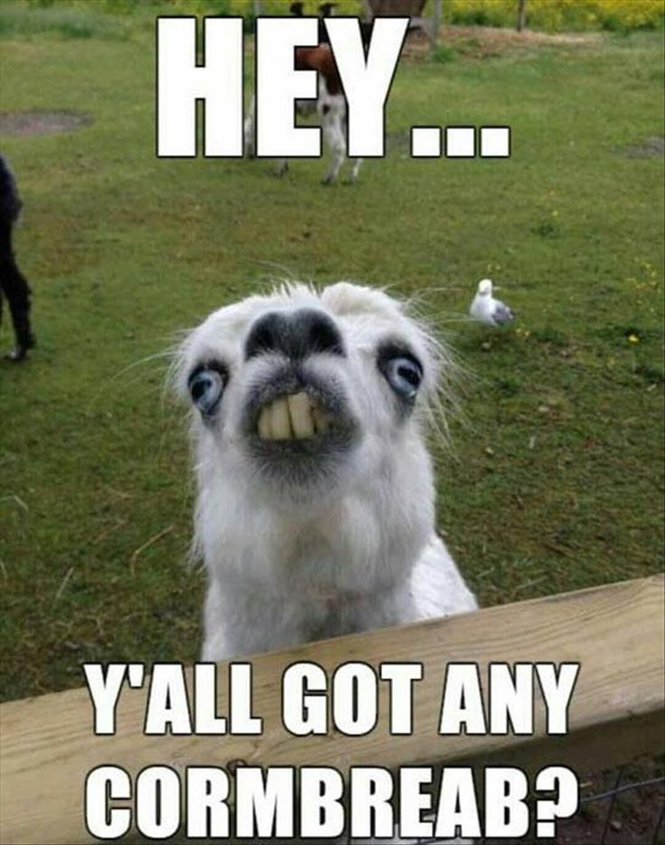 funny pictures funny lama