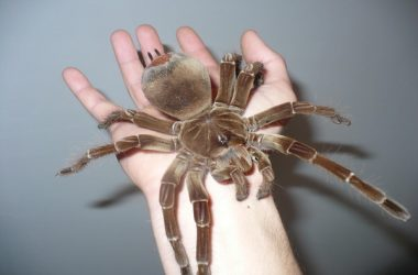 world's biggest spider giant spiders